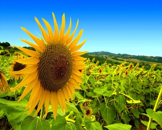 Buy Fuz is sunflower