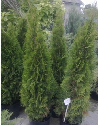 Buy Saplings of decorative trees.