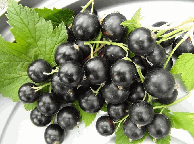 Купить Смородина черная сорт Софиевская
