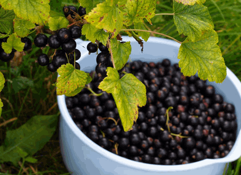 Купить Смородина черная сорт Вернисаж, ягоды свежие,смородина, купить оптом, Киев, Житомир,Украина