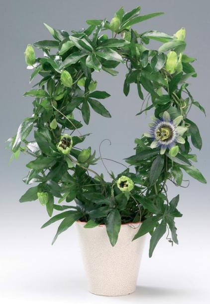 Рослини кімнатні група рослини