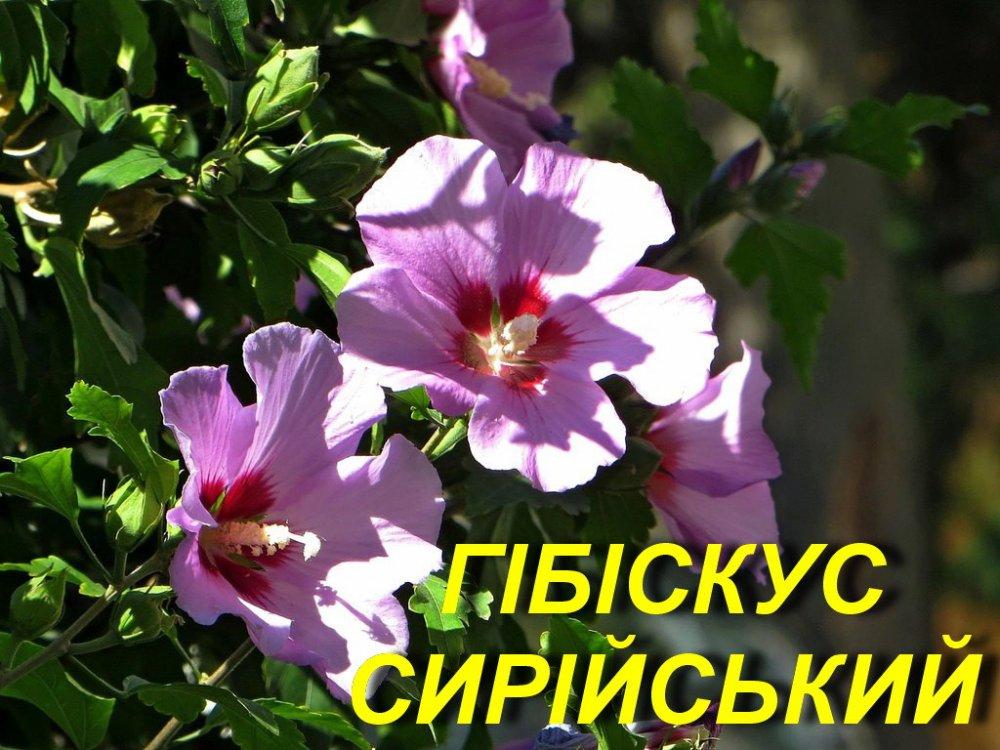 Купити Гібіскус сирійський Арденс (фіолетовий) (ЗКС) 2 р.