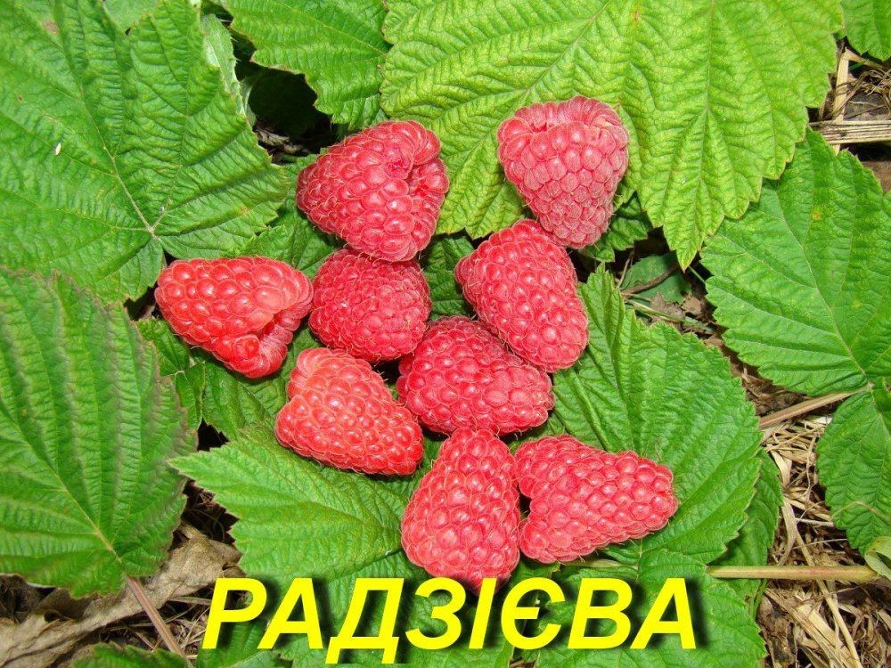 """Купить Саженцы малины """"Радзиева"""" (ЗКС)"""