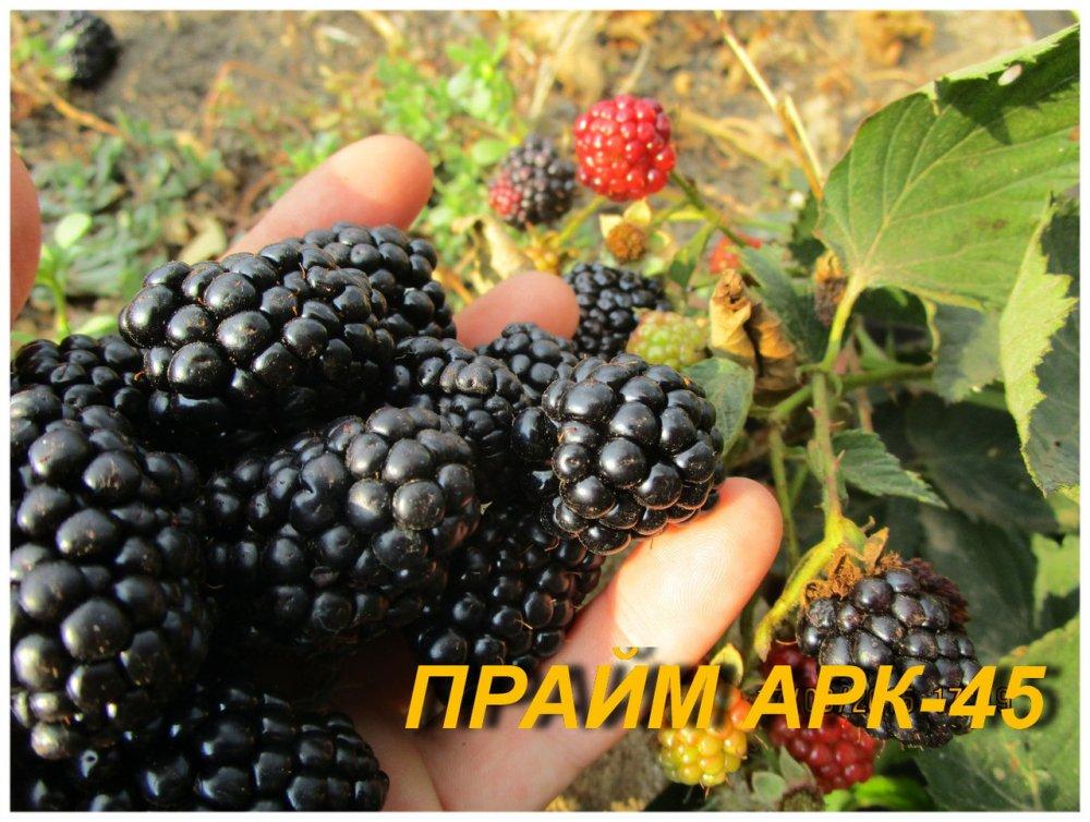 "Купить Саженцы Ежевики ""Прайм Арк 45"" (ЗКС) 2 г."