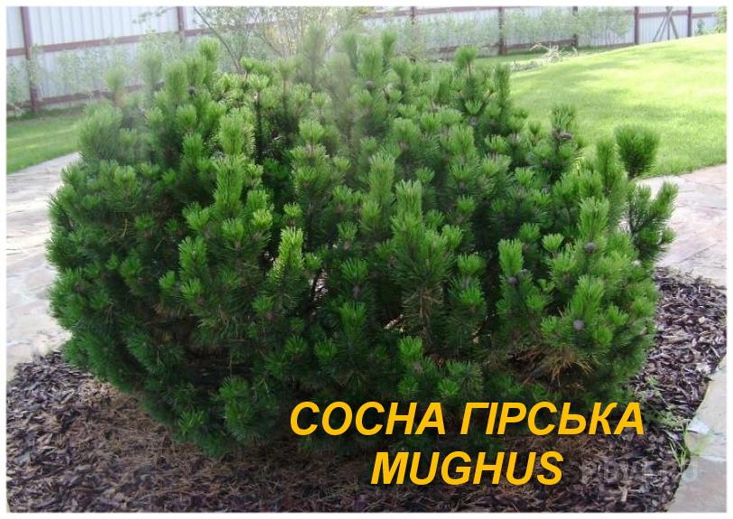 Саженцы сосны горной (Pinus mugo) (ЗКС) 2 г.