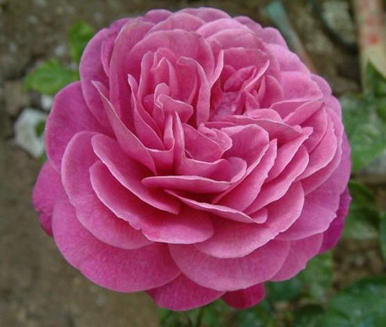 Купить Миниатюрные розы и розы патио. Саженцы роз