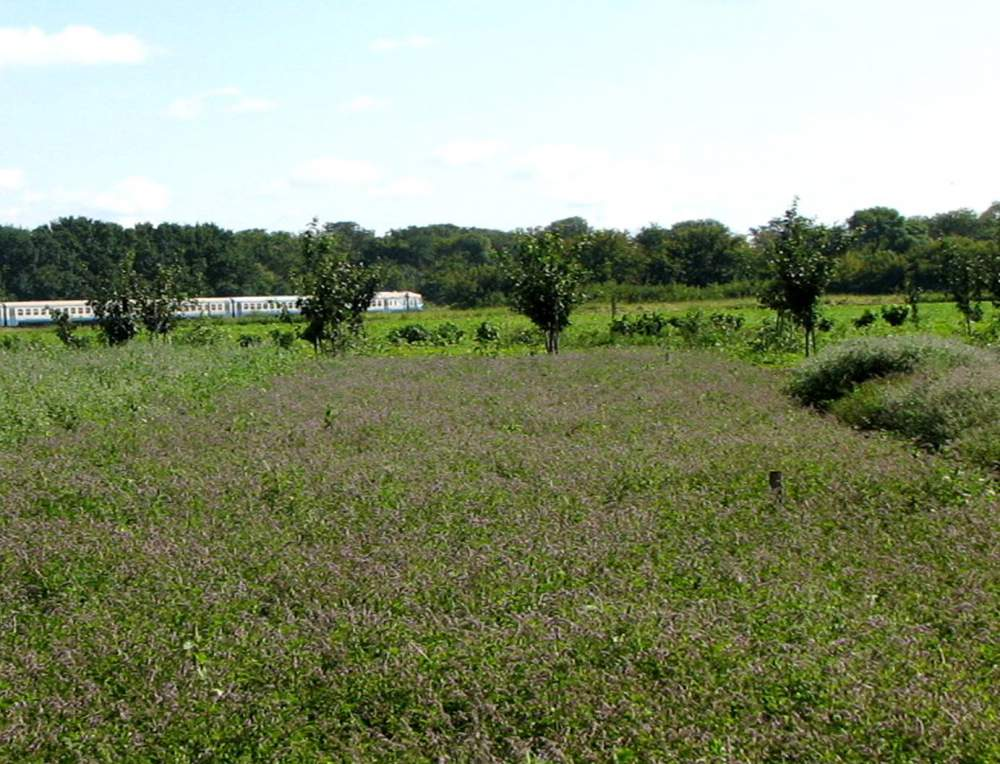Купить Прилукская опытная станция реализует рассаду лекарственных растений (мята). В наличии 4 сорта. Отправка любым автоперевозчиком.