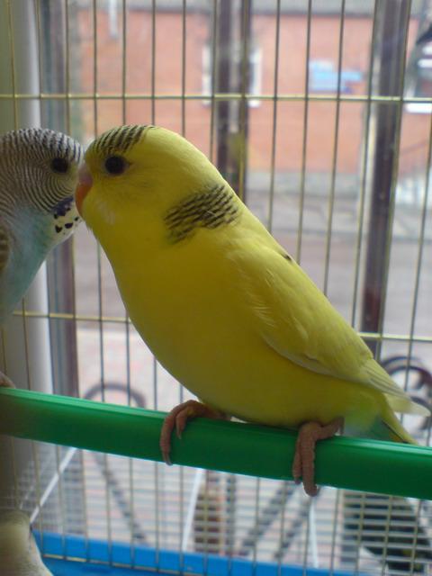 Купить Попугаи волнистые, желтые