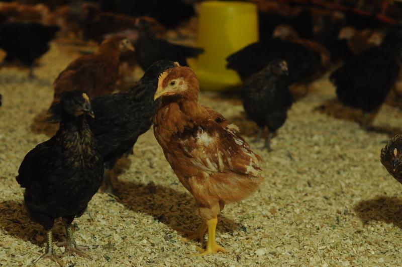 Купить Цыплята мясо-яичных пород РЕДБО