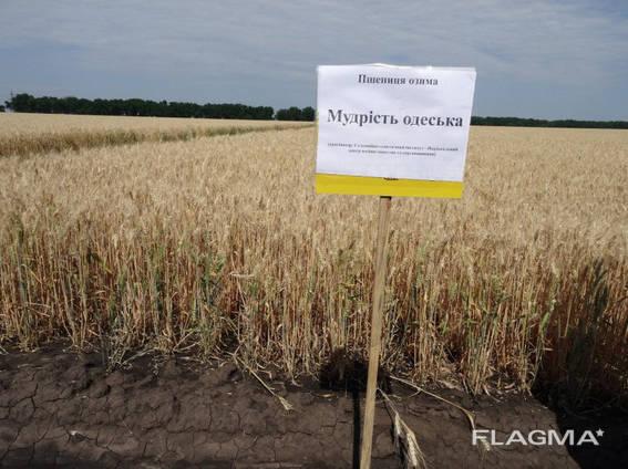 Купить Озима пшениця Мудрість Одеська (еліта)