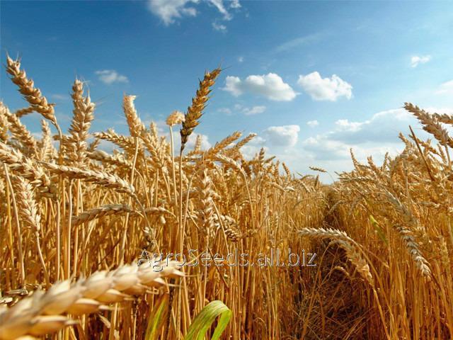 Купить Пшеница озимая Колония (Colonia Limagrain) 1 репродукция (от 1т)