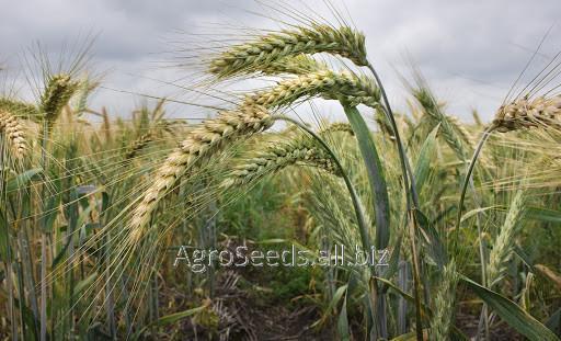 Купить Пшеница озимая венок равнине элита (реализуем от 1т)
