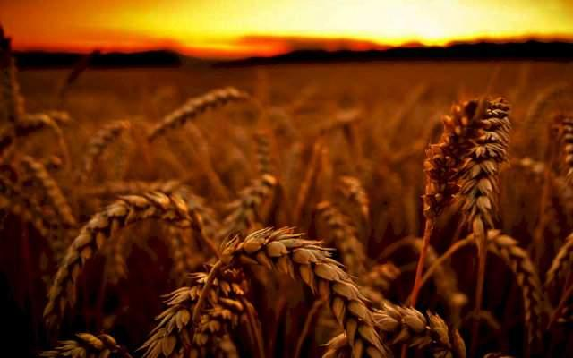 """Купить Пшеница озимая ЗЛАТОГЛАВАЯ, семена ТОВ""""ЛИСТ"""" (реализуем от 1т)"""