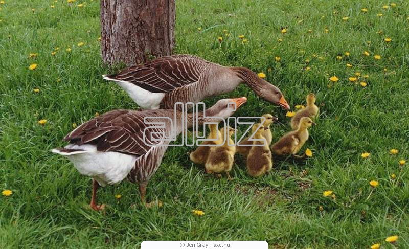Buy Gooses daily wholesale