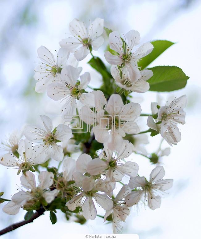 Купить Фруктовые деревья купить Киев