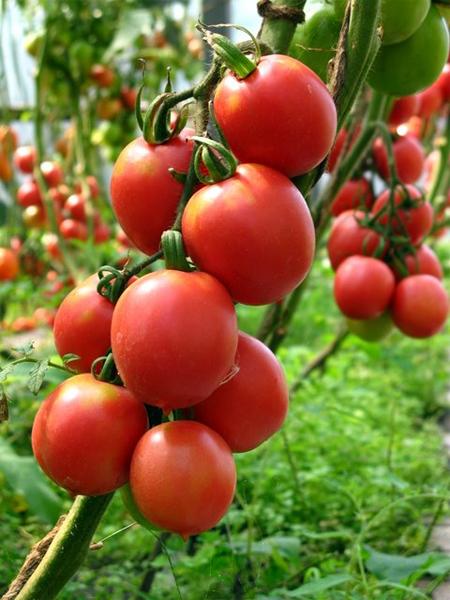 В Болгарии на долю тепличного томата местного производства приходится лишь до 14% рынка
