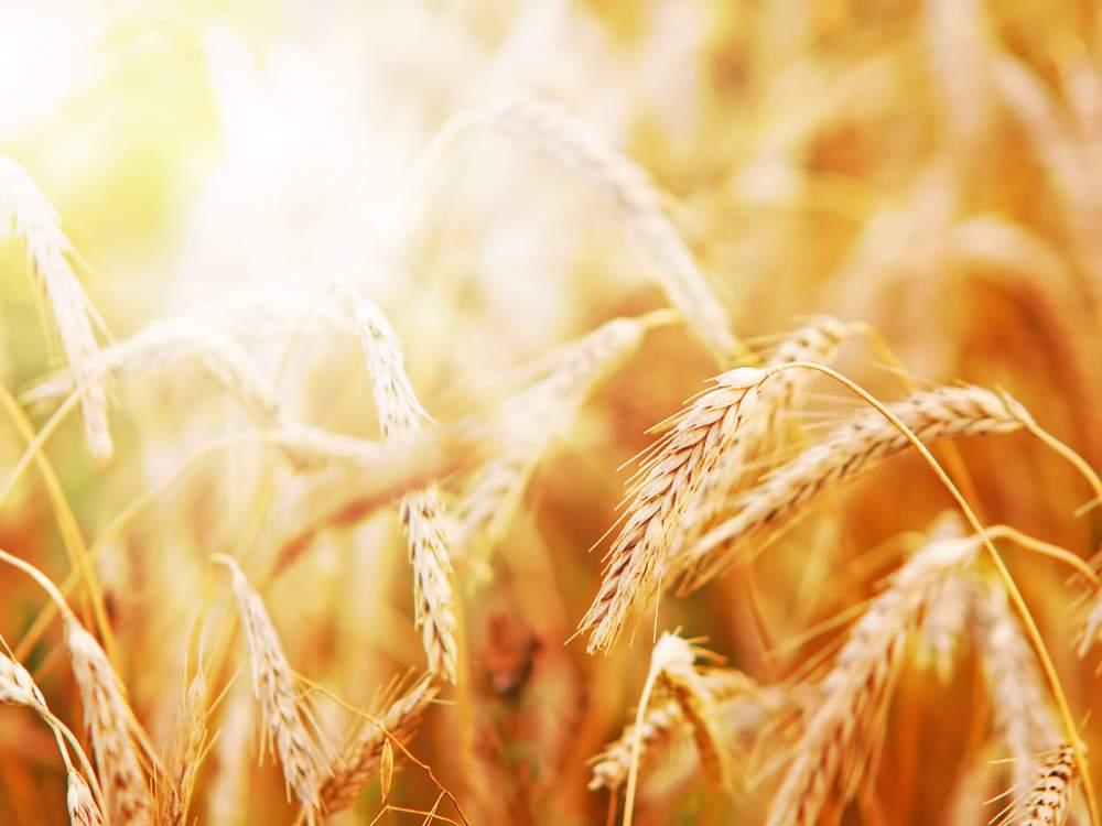 Купить Пшеница сортовая