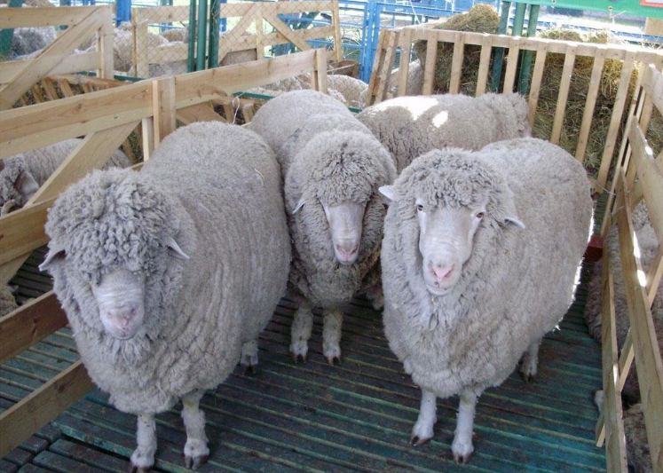 Buy Breeder sheeps. Only for EXPORT. Large wholesale