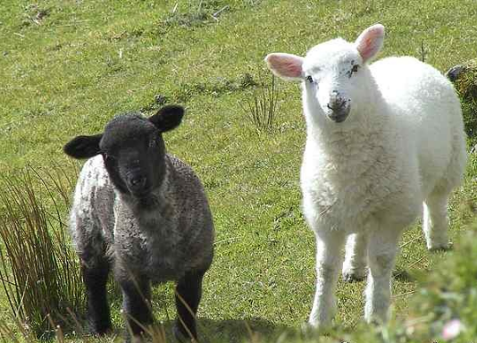 Buy Sheep. Only EXPORT. Large wholesale