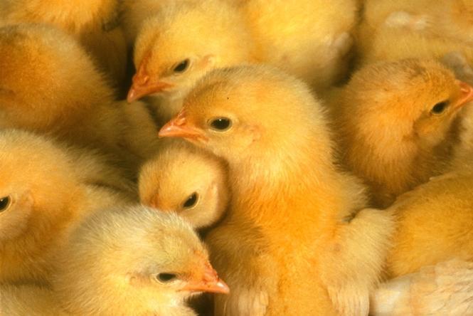 Купить Молодняк кур