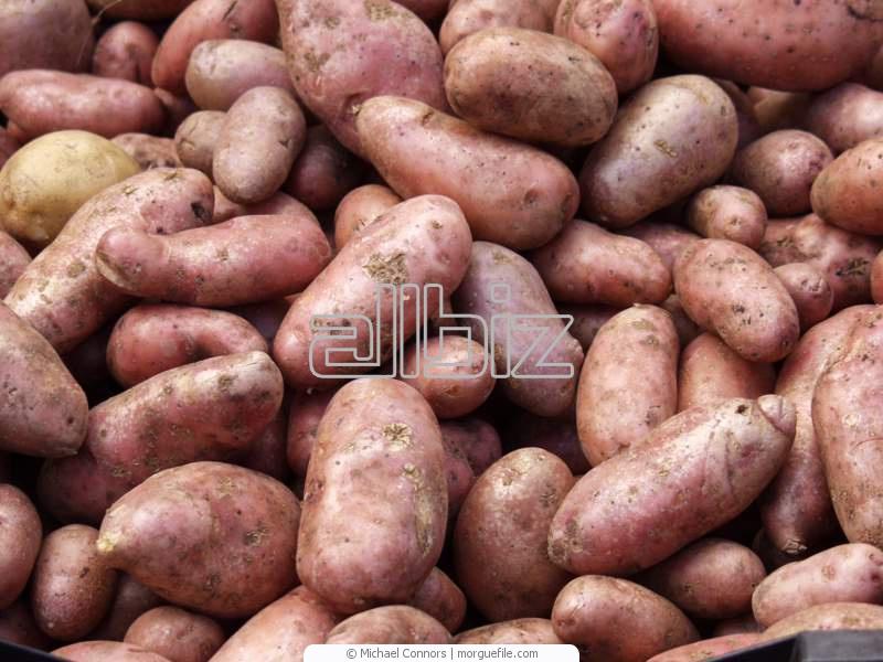 картошка кормовая фото