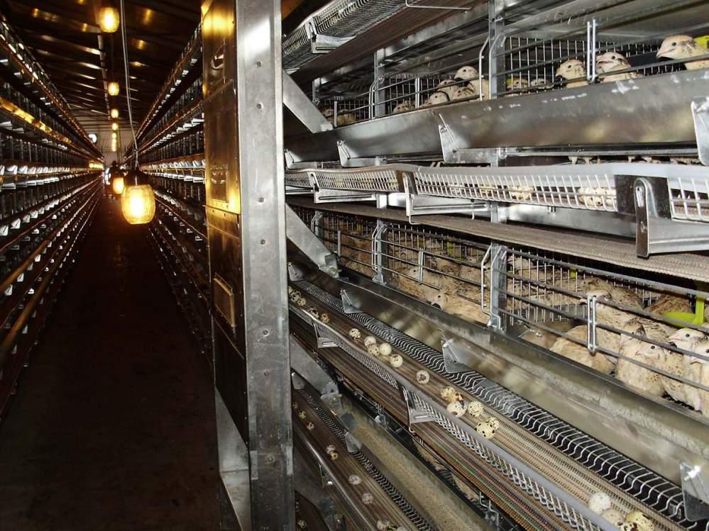 Клеточное оборудование ОКП для выращивания перепелов