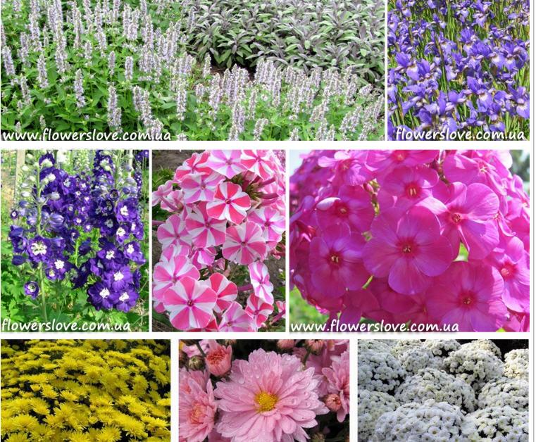 Цветок  - Многолетник