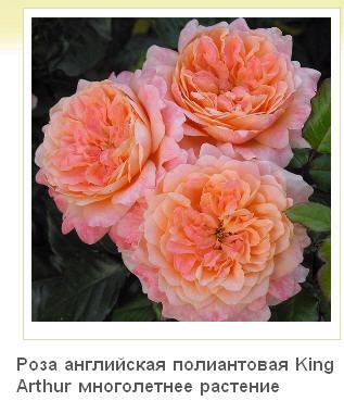 Розы в продаже! Цветущие!  Розы в контейнерах с закрытой корневой системой    Фото с нашего питомника растений