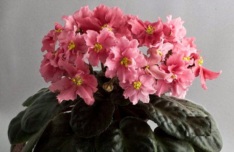 Купить цветы фиалка