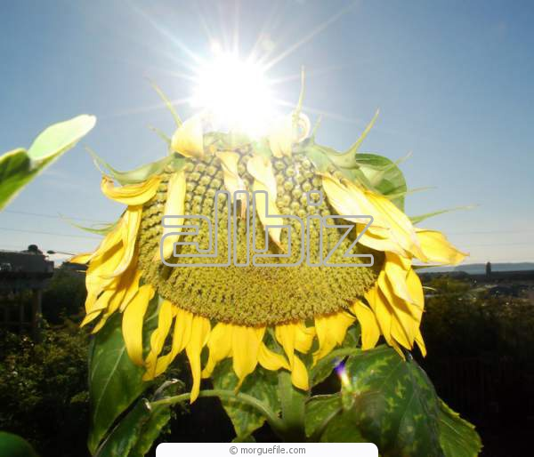 Fuz sunflower sale, wholesale