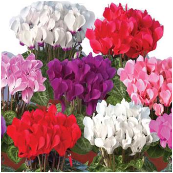 Квіти багаторічні в україні