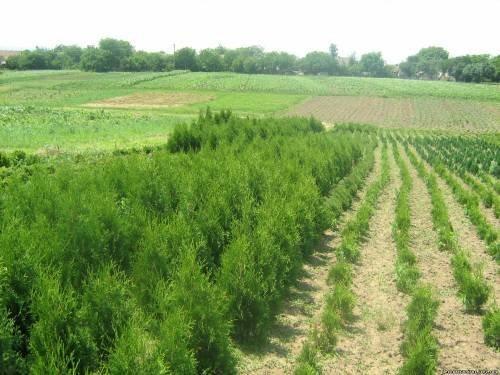 Купить Хвойные деревья и кусты для вашего сада