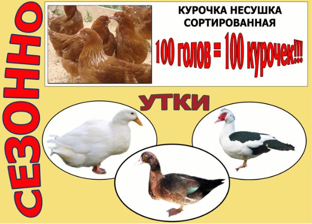 Chickens of broiler