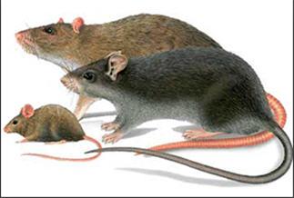 Борьба с крысами, мышами, грызунами - Дератизация Харьков, Киев, Одесса