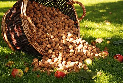 Купить Орехи грецкие все виды калибровки ядер (половинки (грецкий орех - бабочка), четвертинки, микс) оптом на экспорт