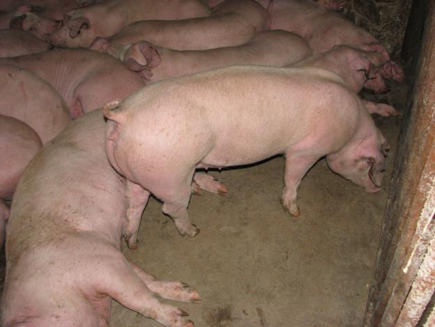 Купить Свиньи Ландрас по 120 кг