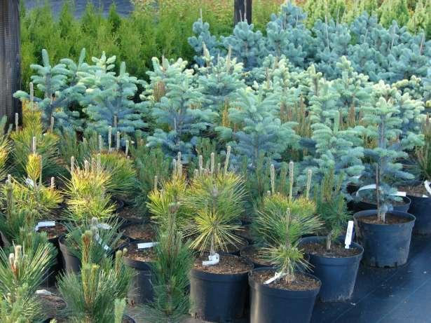 Саженцы хвойных деревьев, купить в Украине