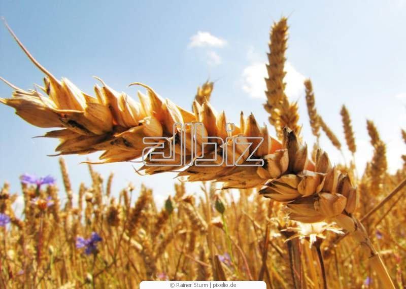 Купить Семена озимой пшеницы от производителя.