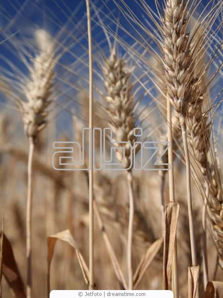 Купить Пшеница фуражная оптом Запорожье