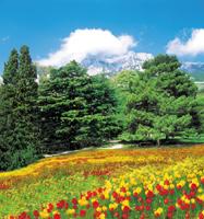Buy Photowall-paper Tulips
