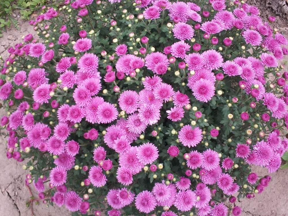 Бордюрные цветы и растения многолетники: фото в каталоге и ...