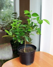 Саженцы плодоносящих комнатных растений, апельсин ВАШИНГТОН НАВЕЛА