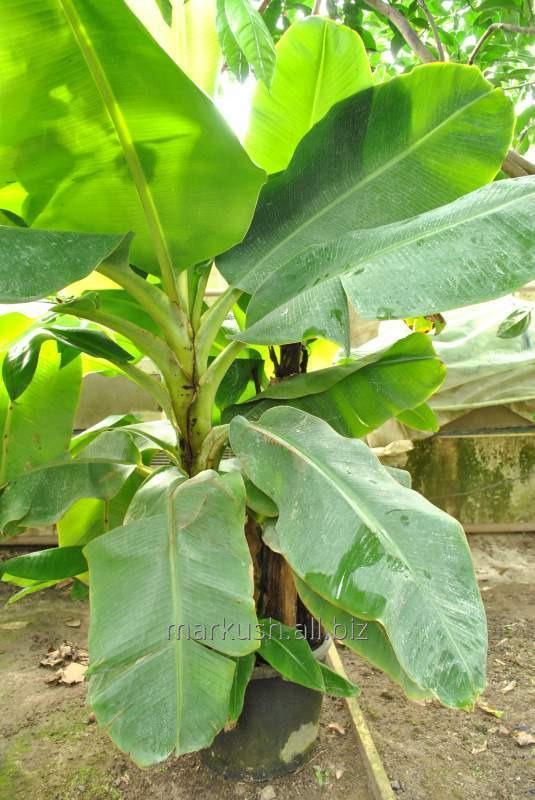 Банан домашний КИЕВСКИЙ КАРЛИК с плодами