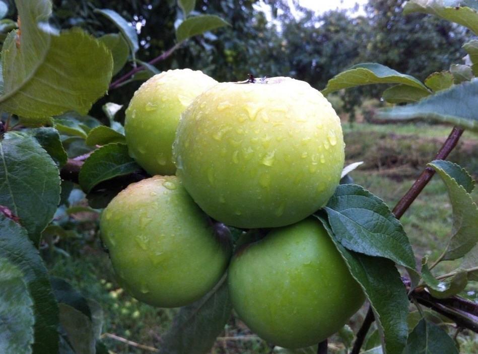 снежный кальвиль яблоки фото