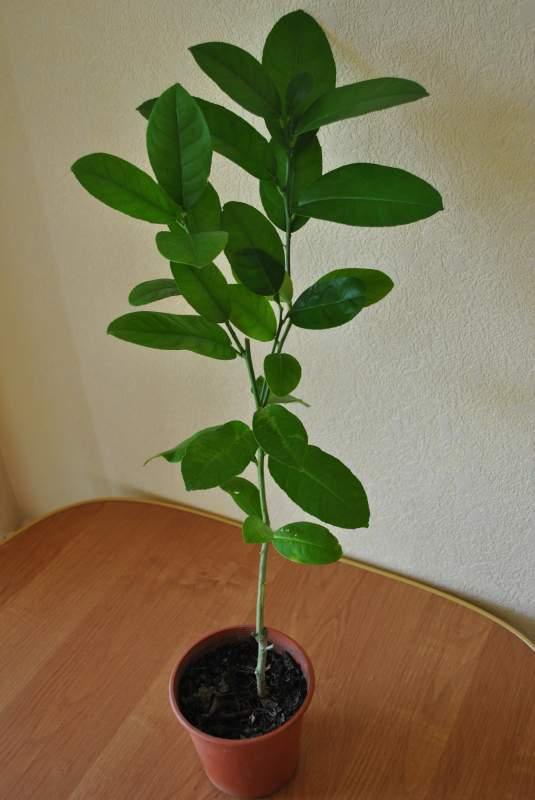 Лимон Киевский крупноплодный с завязью плодов. Лимонное дерево 60-80 см.