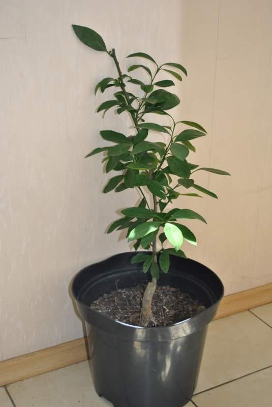 Саженцы мандарина сорт Ковано Васе, высота 50-70 см. Мандарин комнатный