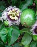 Маракуйя выращивание дома. Комнатное цветоводство. Растение 2шт. в горшке высотой 50-80 см