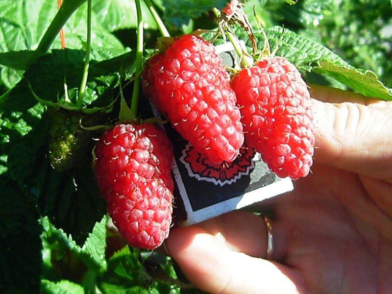 Купить Саженцы летнего сорта малины ПАТРИЦЫЯ