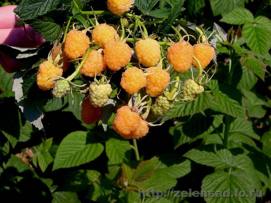 Купить Саженцы летнего сорта малины ЖЁЛТЫЙ ГИГАНТ