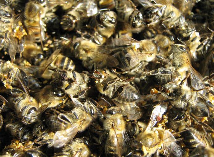 Купить Пчелиный подмор купить в Донецке (Хитозан – подмор пчел)